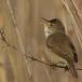 bosrietzanger-marsh-warbler-02