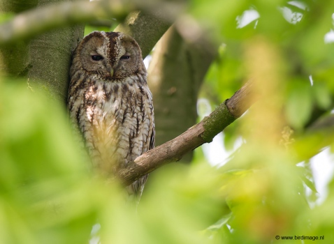 bosuil-tawny-owl-16