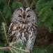 bosuil-tawny-owl-02