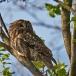 bosuil-tawny-owl-05