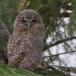 bosuil-tawny-owl-09