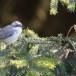 Braamsluiper-Lesser-Whitethroat-13