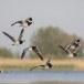 Brandgans-Barnacle-Goose-25