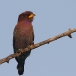 breedbekscharrelaar-broad-billed-roller-01