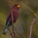 breedbekscharrelaar-broad-billed-roller-09
