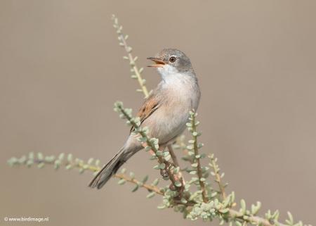 Brilgrasmus - Spectacled Warbler 04