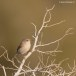 Brilgrasmus - Spectacled Warbler 02