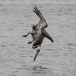 bruine-pelikaan-brown-pelican-02