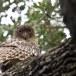 Bruine-visuil-Brown-fish-owl-01
