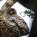 Bruine-visuil-Brown-fish-owl-02