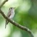 Bruine-vliegenvanger-Asian-brown-flycatcher-01
