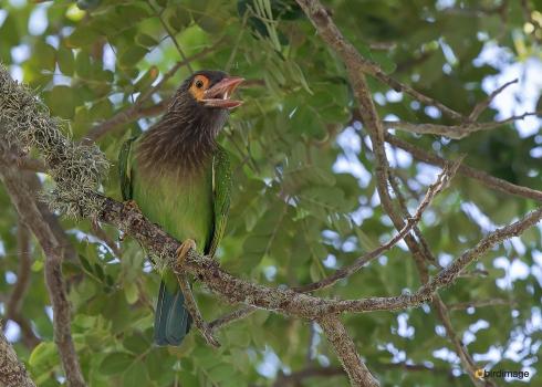 Bruinkopbaardvogel-Brown-headed-barbet-03