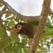 Bruinkopbaardvogel-Brown-headed-barbet-01