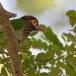 Bruinkopbaardvogel-Brown-headed-barbet-02