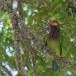 Bruinkopbaardvogel-Brown-headed-barbet-04