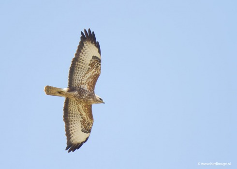 Steppebuizerd - Steppe Buzzard 01