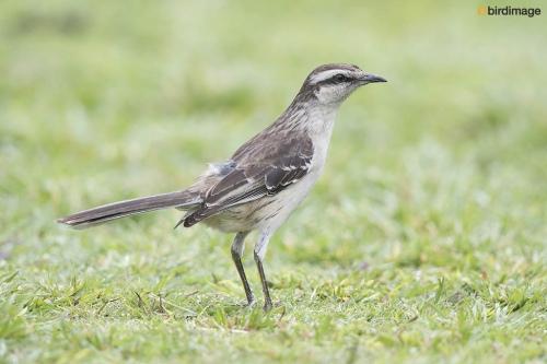 Camposspotlijster_Chalck-browed Mockingbird 01