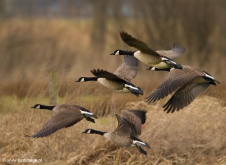 canadese-gans-canada-goose-01