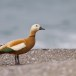 Casarca - Ruddy Shelduck 04