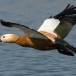 casarca-ruddy-shelduck-01