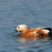 casarca-ruddy-shelduck-02