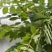 Ceylonese-baardvogel-ellow-fronted-barbet-01