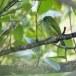 Ceylonese-baardvogel-ellow-fronted-barbet-02