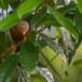 Ceylonese-babbelaar-Orange-billed-babbler-01
