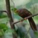 Ceylonese-babbelaar-Orange-billed-babbler-02