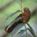 Ceylonese-babbelaar-Orange-billed-babbler-03