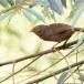 Ceylonese-babbelaar-Orange-billed-babbler-06