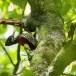 Ceylonese-goudrugspecht-Crimson-backed-flameback-01