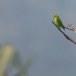 Ceylonese-vleermuisparkiet-Sri-Lanka-hanging-parrot-01