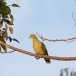 Ceylonpapegaaiduif-Sri-Lanka-Green-Pigeon-01