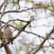 Ceylonrupsklauwier-Sri-Lanka-woodshrike-01