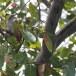 Ceylonrupsklauwier-Sri-Lanka-woodshrike-02