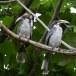 Ceylon-tok-Sri-Lanka-Grey-hornbill-01