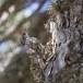 Cypriotische boomkruiper - Short-toed treecreeper02