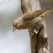 Cypriotische kruisbek - Red Crossbill Cyprus 06