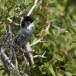 Cyprusgrasmus - Cyprus Warbler 02