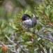 Cyprusgrasmus - Cyprus Warbler 03