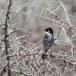 Cyprusgrasmus - Cyprus Warbler 05