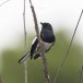 Dayalijster-Oriental-magpie-robin-01