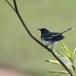 Dayalijster-Oriental-magpie-robin-02