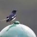 Dayalijster-Oriental-magpie-robin-03