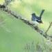 Dayalijster-Oriental-magpie-robin-04