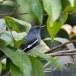 Dayalijster-Oriental-magpie-robin-05