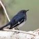 Dayalijster-Oriental-magpie-robin-06