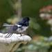 Dayalijster-Oriental-magpie-robin-07