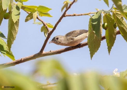Geelsnavelhoningvogel-Pale-billed-flowerpecker-02